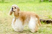 A small young beautiful fawn light cream and white American Cocker Spaniel dog standing on the grass with its coat clipped into a show cut looking very friendly and beautiful. The Cocker Spanyell dogs are an intelligent gentle and merry breed. poster