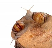 Two snails on top of pine-tree stump. Isolated on white background. Top view. poster