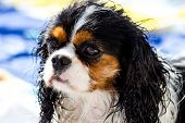 A Wet Cavalier king purebreed dog at the sea poster