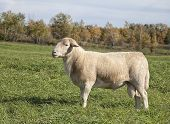 Profile image of a domestic hair sheep called a Katahdin.  This ram depicts excellent conformation. poster