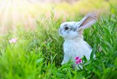 Rabbit. Cute Little Easter Bunny in the Meadow. Spring Flowers and Green Grass. Sunbeams poster
