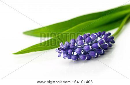 Blue Hyacinth Close Up