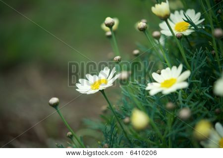 Daisies And Green