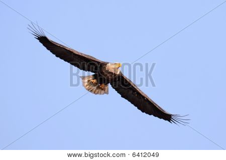 Adult Bald Eagle (haliaeetus leucocephalus) carrying a fish in flight against a blue sky poster