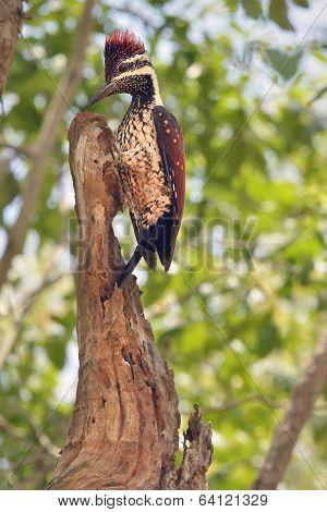 Sri Lankan red-backed woodpecker in tree