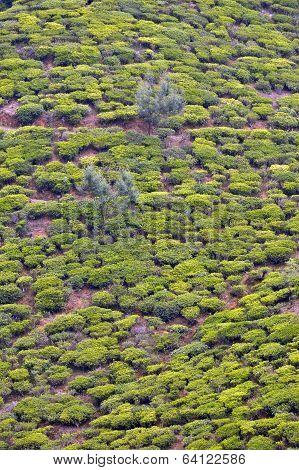 Tea bushes in the highlands of Sri Lanka