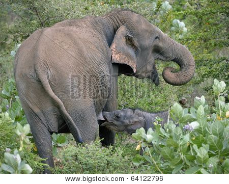 Wild indian elephant suckling calf in the bush