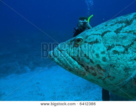 Photographer And Giant Potato Cod