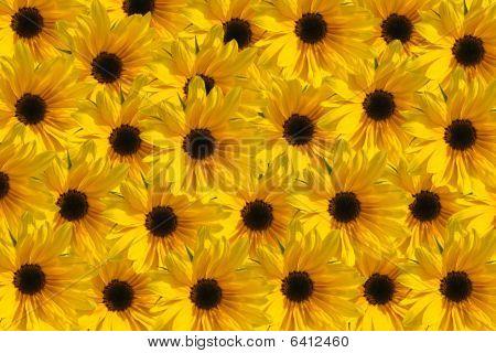 Sunflower Texture