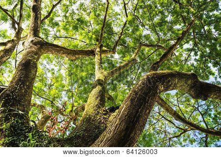 Big Tree Looking Up