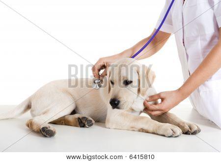 Veterinay kümmert sich ein Hund