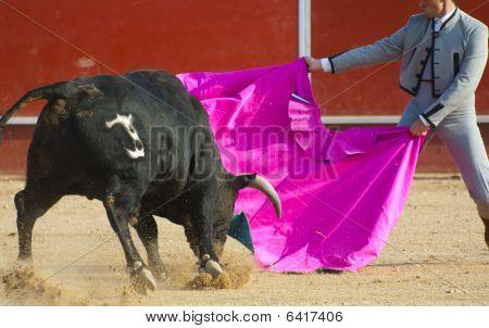 Fighting bull picture from Spain. Black bull poster