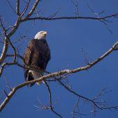 Bald Eagle (Haliaeetus leucocephalus) perching in a tree. poster