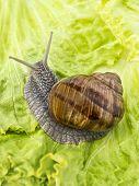 Burgundy snail eating a lettuce leaf, France poster