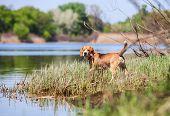 Beagle- hunter dog on the river coast poster