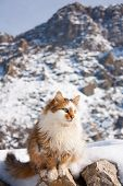 the fluffy cat outside in winter mountains poster