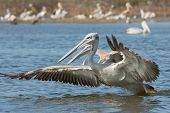 A Pink-backed Pelican (Pelecanus rufescens) rushing forwards to dive for fish poster