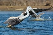 A Pink-backed Pelicans (Pelecanus rufescens) rushing forwards to dive for fish poster