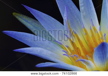 Blue Lotus of Egypt (Nymphaea Caerulea)