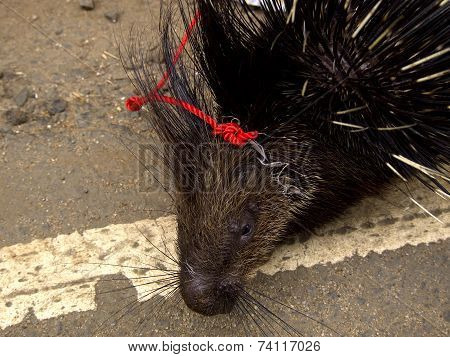 Closeup of an asian porcupine with a red collar poster