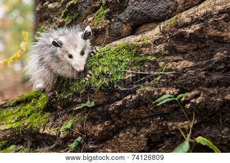 Baby Opossum