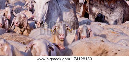 Sheeps, Donkeys, Goats And Animals Everywhere!