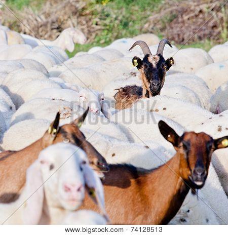 I Am A Goat Do You Know?