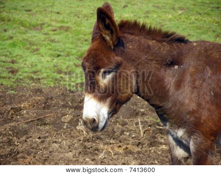 A brown donkey hanging out in the pasture on a farm. poster