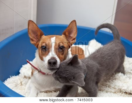 Jack Russell Terrier With Kitten In A Basket