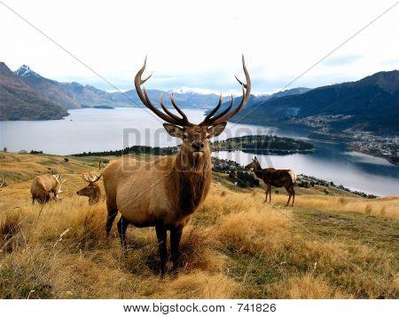 Bull elk over a glacier lake in New Zealand poster