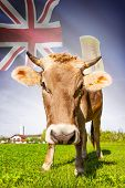 Cow with flag on background series - Turks and Caicos Islands poster