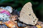 The common evening brown butterfly is sucking food poster