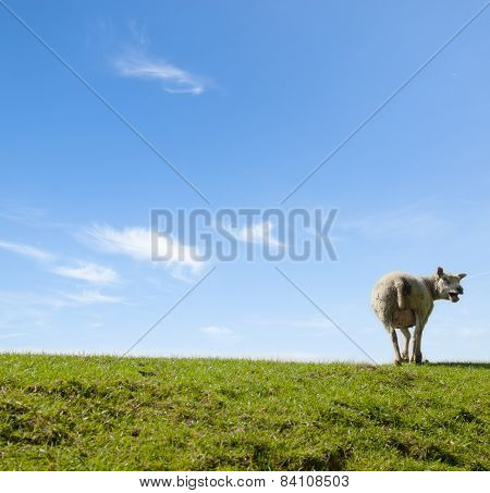 Spring Image Of A Mother Sheep Yelling On A Green Meadow