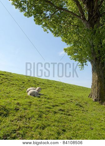 Spring Image Of Young Lambs Resting On A Green Meadow