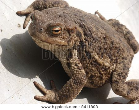 Common Toad (bufo Bufo) Closeup