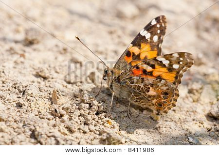 Close up of a Painted Lady butterfly sitting on the ground. poster