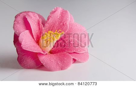 Pink Flower On A White Table