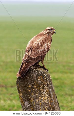 Buzzard Is Hunting In The Wild.
