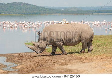Rhino By The Lake