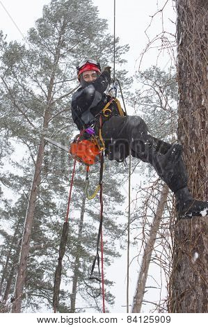 Arborist sawing wood chainsaw at the height in a snowstorm, dangerous work