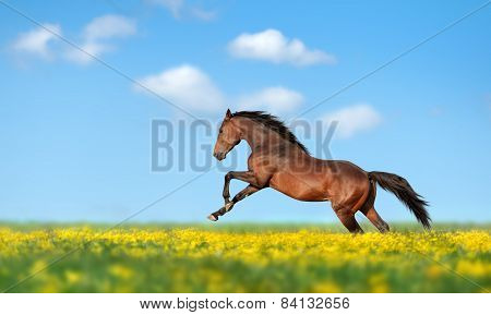 Beautiful brown horse galloping across the field and yellow flower against the blue sky