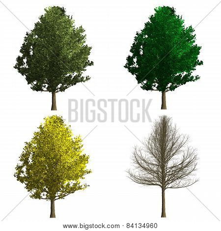 Ginko Biloba Tree Rendering Showing Four Season