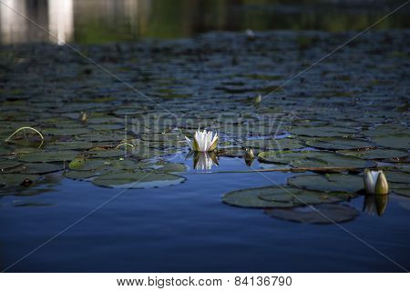 White water lily and reflection in blue water