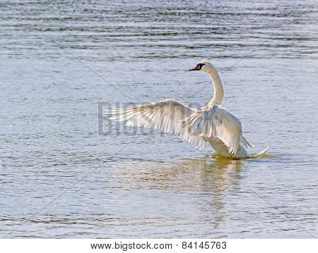 Swan Flapping Wings On Water