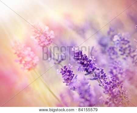 Beautiful lavender flower lit by sun rays