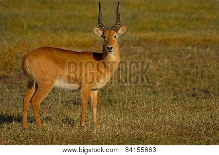 Isolated Male Puku standing on the grass plains in Zambia