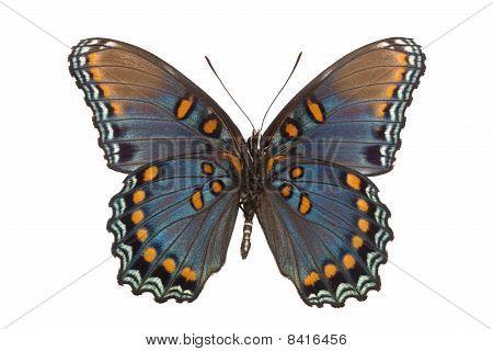 Limenitis Arthemis Astyanax