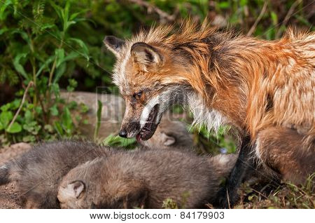 Red Fox Vixen (vulpes Vulpes) Watches Over Her Kits