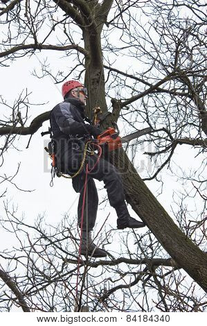 An arborist using a chainsaw to cut a walnut tree, Work at height