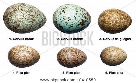 Eggs Of Birds Of Crow Family (corvids).